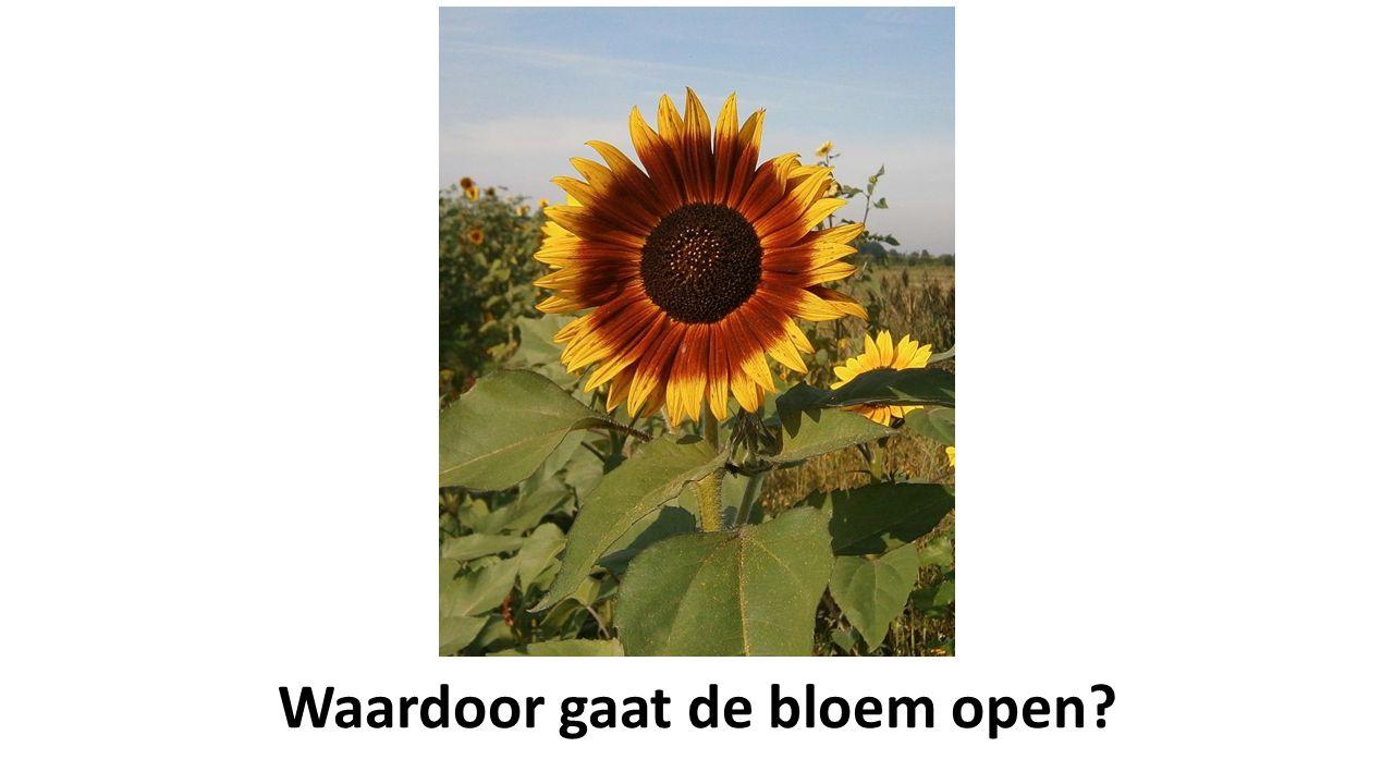 Waardoor gaat de bloem open?