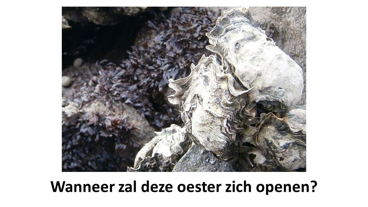 Wanneer zal deze oester zich openen?