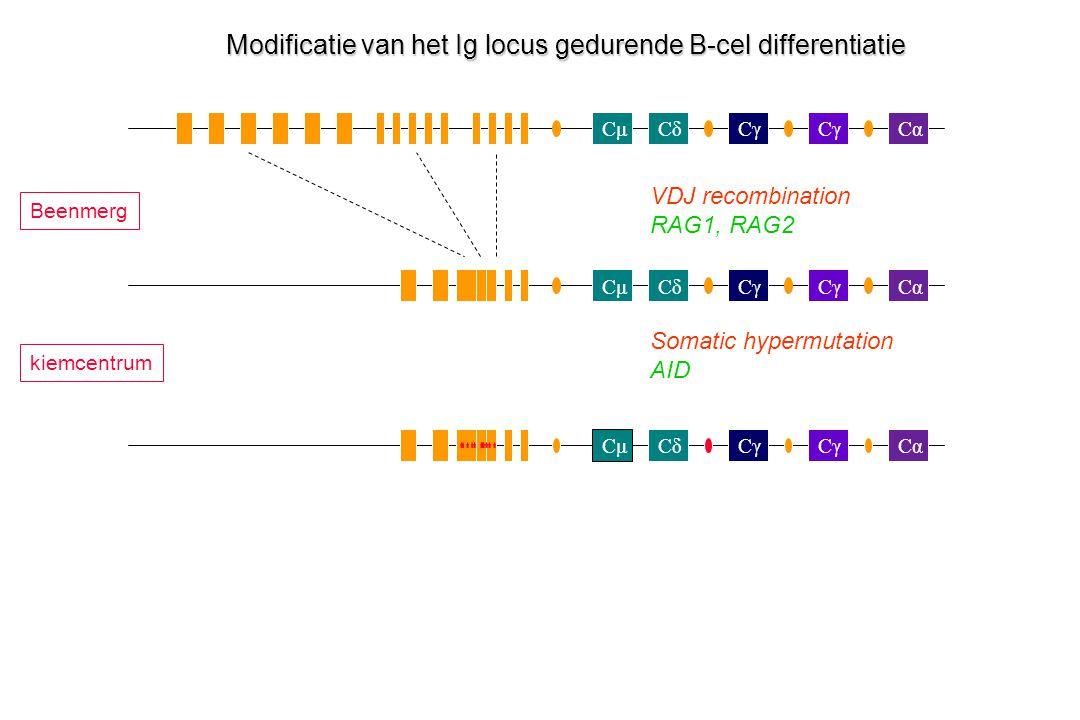 CμCδCγ Cα Cγ CμCδCα Cγ CαCμCδ Modificatie van het Ig locus gedurende B-cel differentiatie VDJ recombination RAG1, RAG2 Somatic hypermutation AID Beenm
