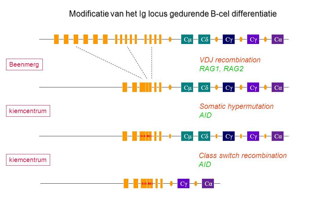 CμCδCγ Cα Cγ CμCδCα Cγ CαCμCδCγCα Modificatie van het Ig locus gedurende B-cel differentiatie VDJ recombination RAG1, RAG2 Somatic hypermutation AID C