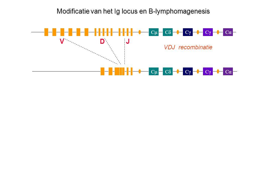CμCδCγ Cα Cγ CμCδCα Modificatie van het Ig locus en B-lymphomagenesis VDJ recombinatie VDJ