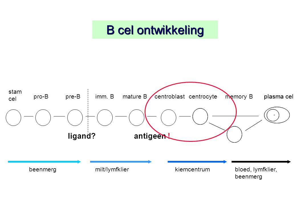 B cel ontwikkeling stam cel plasma cel ligand? pro-Bpre-Bimm. Bcentroblastcentrocyteplasma celmemory B antigeen ! mature B beenmergmilt/lymfklierkiemc