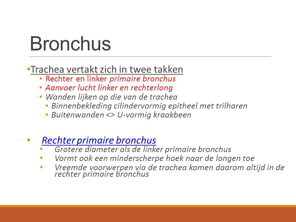 Bronchien Trachea vertakt zich in twee takken Rechter en linker primaire bronchus Aanvoer lucht linker en rechterlong Wanden lijken op die van de trac