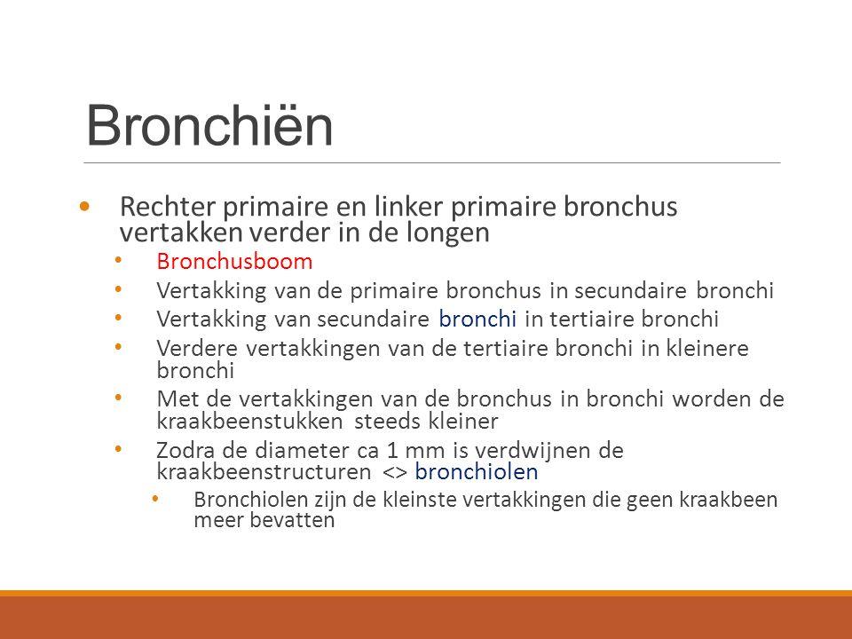 Bronchiën Rechter primaire en linker primaire bronchus vertakken verder in de longen Bronchusboom Vertakking van de primaire bronchus in secundaire br