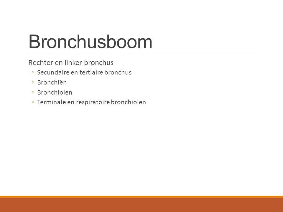 Bronchusboom Rechter en linker bronchus ◦Secundaire en tertiaire bronchus ◦Bronchiën ◦Bronchiolen ◦Terminale en respiratoire bronchiolen