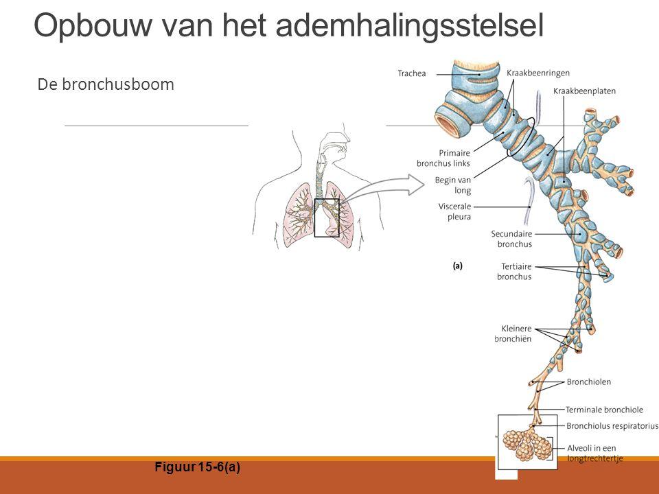 Opbouw van het ademhalingsstelsel De bronchusboom Figuur 15-6(a)