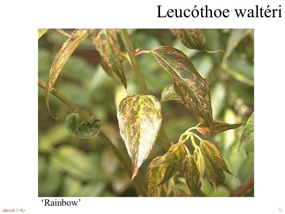 Leucóthoe waltéri 72inhoud: 2 groenblijvend 'Rainbow'