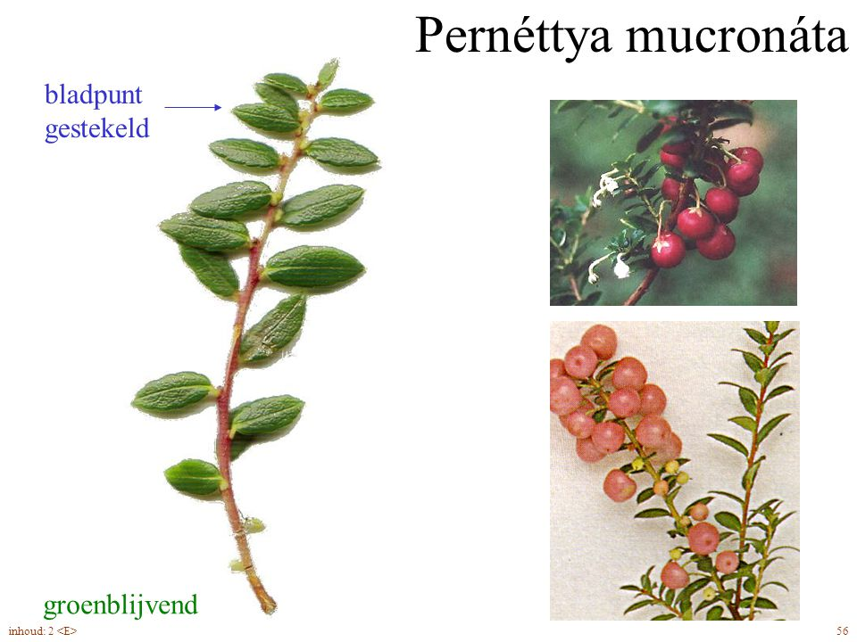 Pernéttya mucronáta groenblijvend bladpunt gestekeld 56inhoud: 2