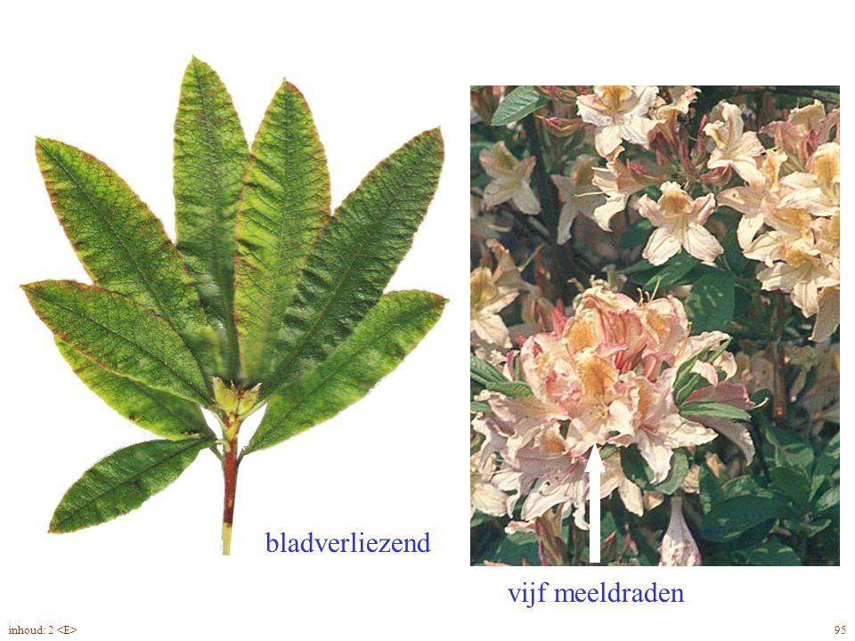 vijf meeldraden bladverliezend Rhododendron Jap. blad, bloei 95inhoud: 2