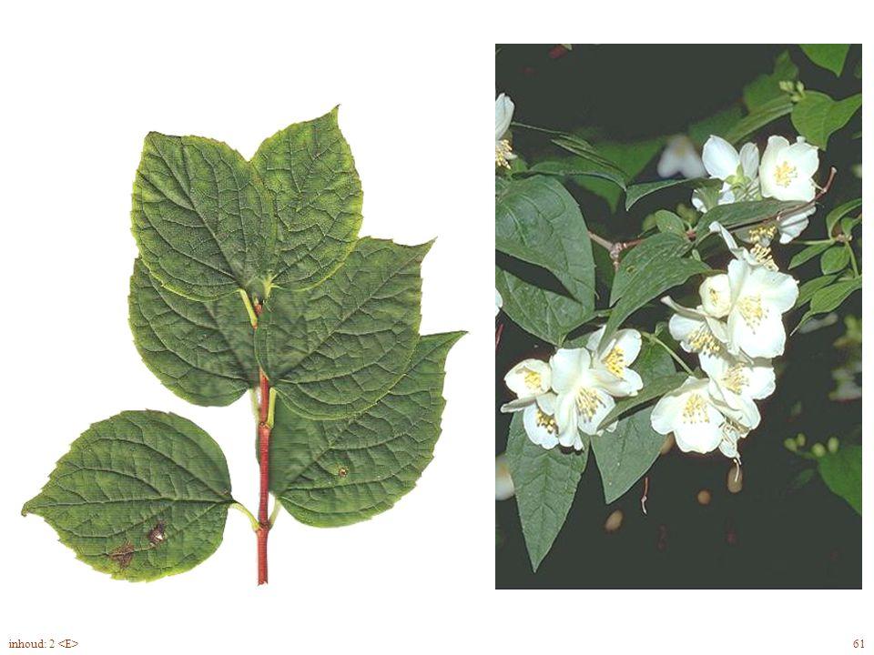 onderzijde Philadelphus coronarius blad, bloem 61inhoud: 2
