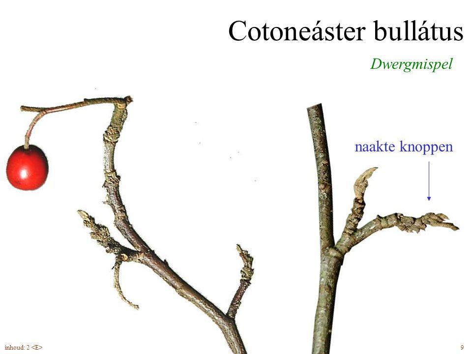 naakte knoppen Cotoneáster bullátus Dwergmispel 9inhoud: 2