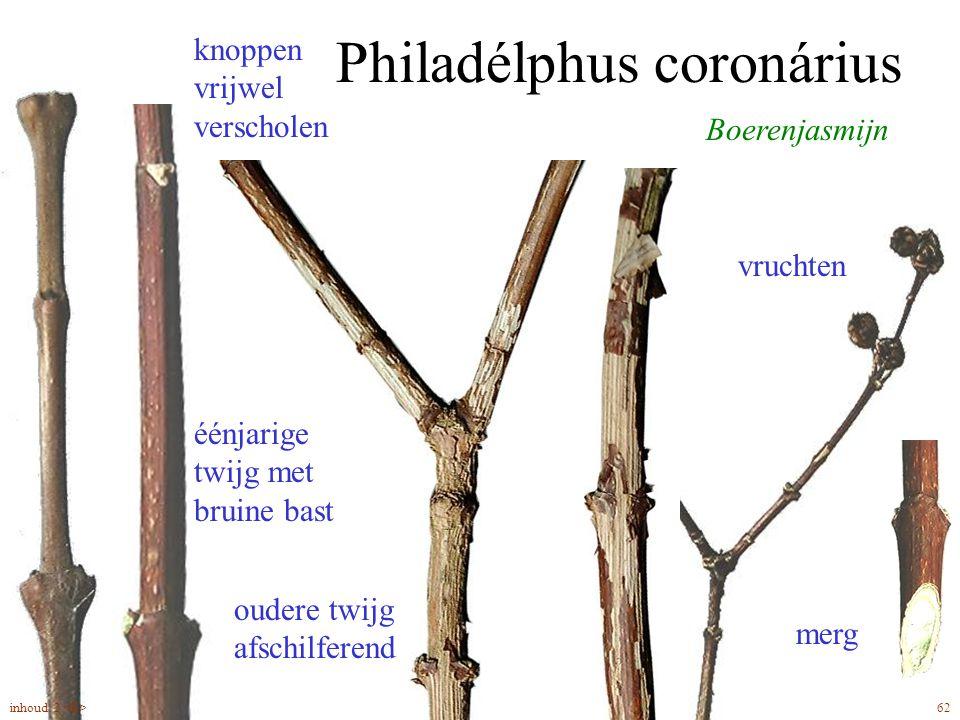 Philadélphus coronárius Boerenjasmijn vruchten merg oudere twijg afschilferend knoppen vrijwel verscholen éénjarige twijg met bruine bast 62inhoud: 2