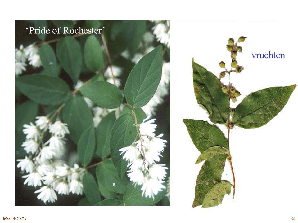 'Pride of Rochester' vruchten Deutzia scabra bloem, vrucht 60inhoud: 2