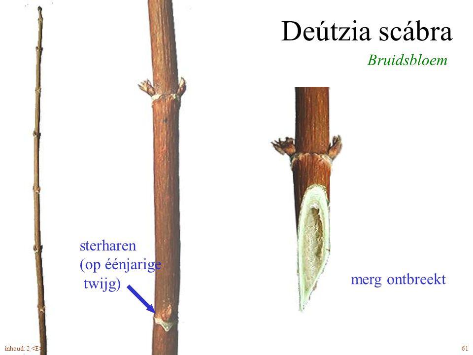 Deútzia scábra Bruidsbloem sterharen (op éénjarige twijg) merg ontbreekt 61inhoud: 2