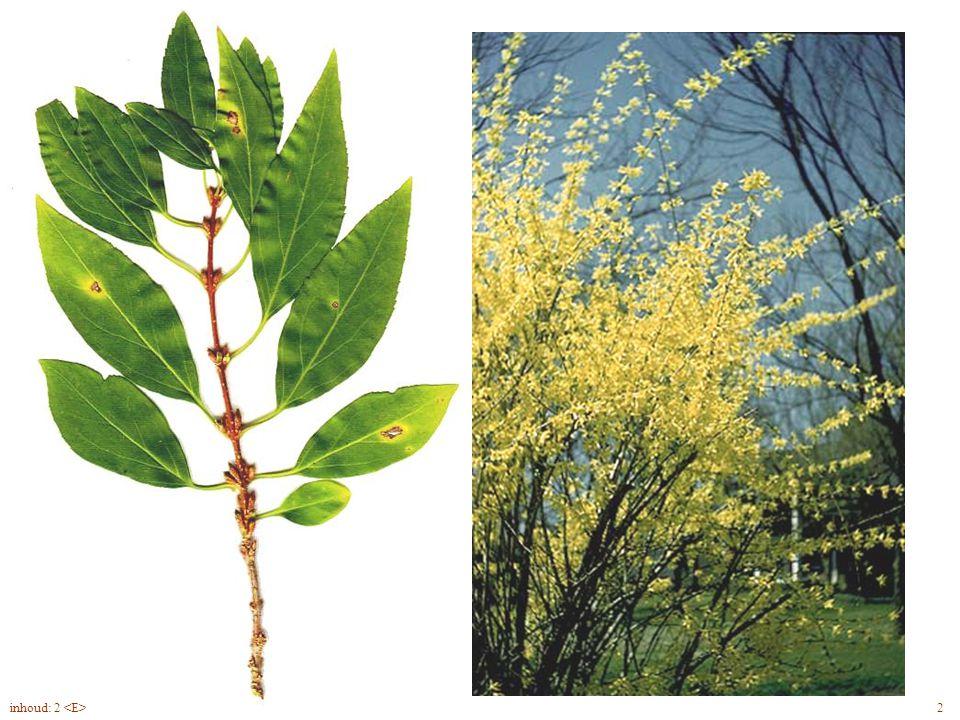 Forsythia x intermedia blad, bloem 2inhoud: 2