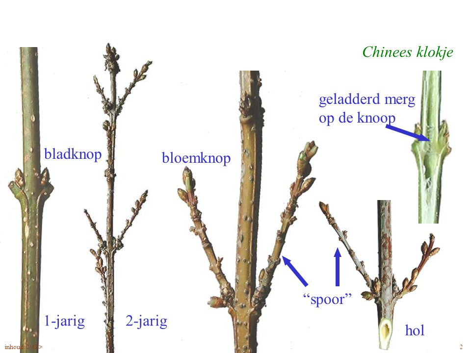 """Amelanchier lamarckii blad Chinees klokje bloemknop """"spoor"""" hol 2-jarig geladderd merg op de knoop 1-jarig bladknop 2inhoud: 2"""