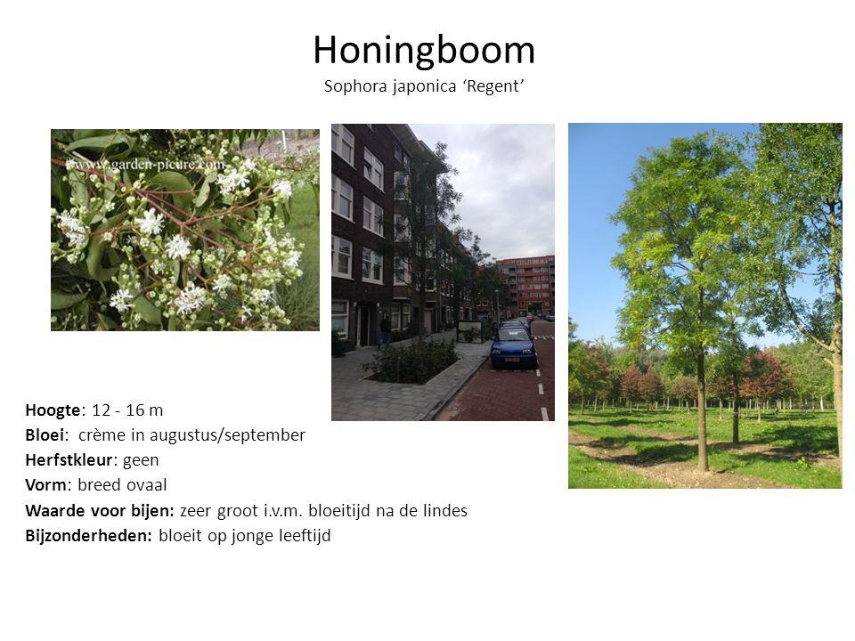 Honingboom Sophora japonica 'Regent' Hoogte: 12 - 16 m Bloei: crème in augustus/september Herfstkleur: geen Vorm: breed ovaal Waarde voor bijen: zeer groot i.v.m.