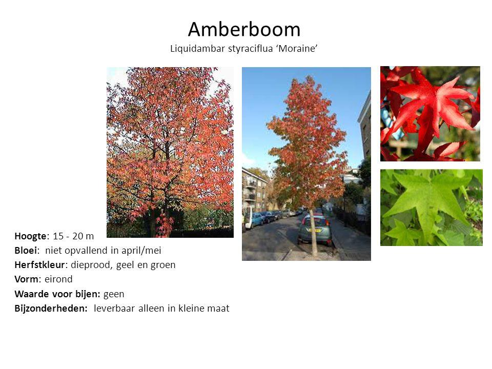 Amberboom Liquidambar styraciflua 'Moraine' Hoogte: 15 - 20 m Bloei: niet opvallend in april/mei Herfstkleur: dieprood, geel en groen Vorm: eirond Waarde voor bijen: geen Bijzonderheden: leverbaar alleen in kleine maat