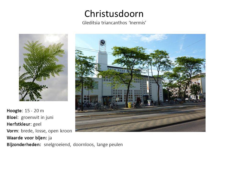 Sierkers Amberboom Christusdoorn Honingboom
