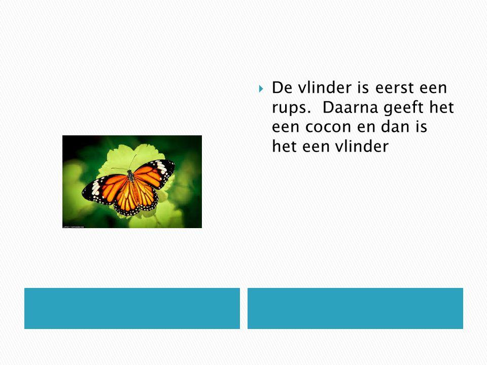  De vlinder is eerst een rups. Daarna geeft het een cocon en dan is het een vlinder