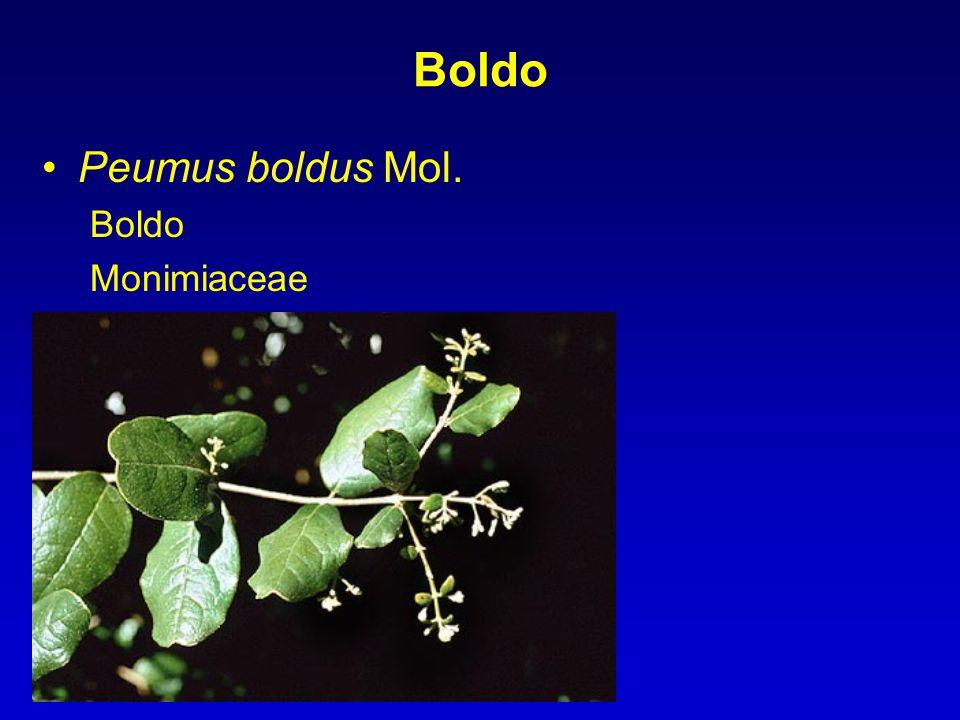 Boldo Peumus boldus Mol. Boldo Monimiaceae