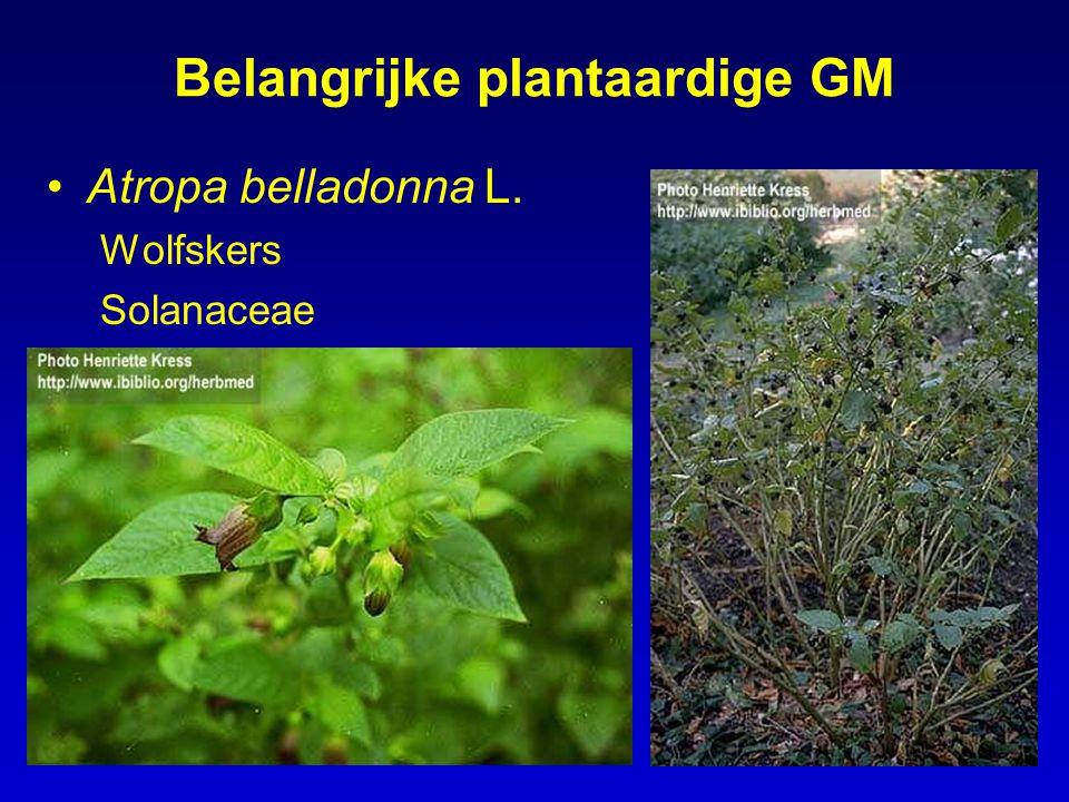 Belangrijke plantaardige GM Atropa belladonna L. Wolfskers Solanaceae
