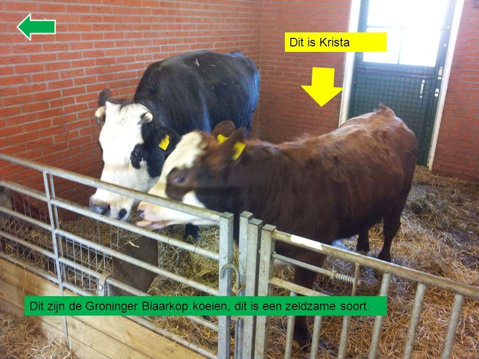 Dit zijn de Groninger Blaarkop koeien, dit is een zeldzame soort. Dit is Krista