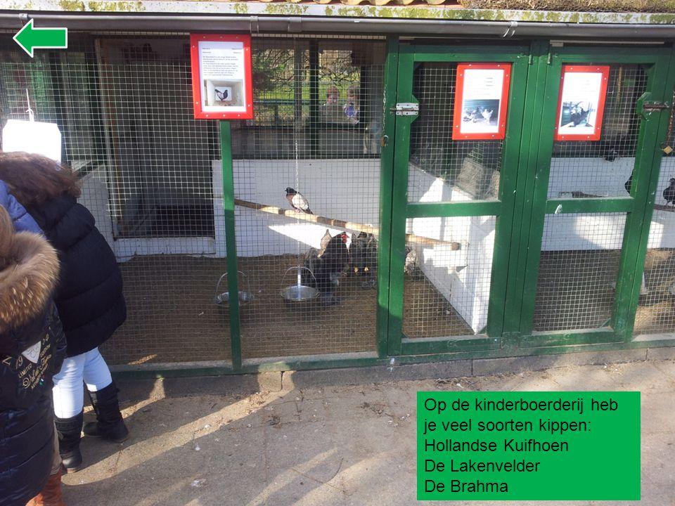 Op de kinderboerderij heb je veel soorten kippen: Hollandse Kuifhoen De Lakenvelder De Brahma