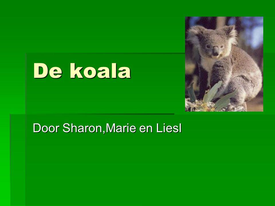 De koala Door Sharon,Marie en Liesl