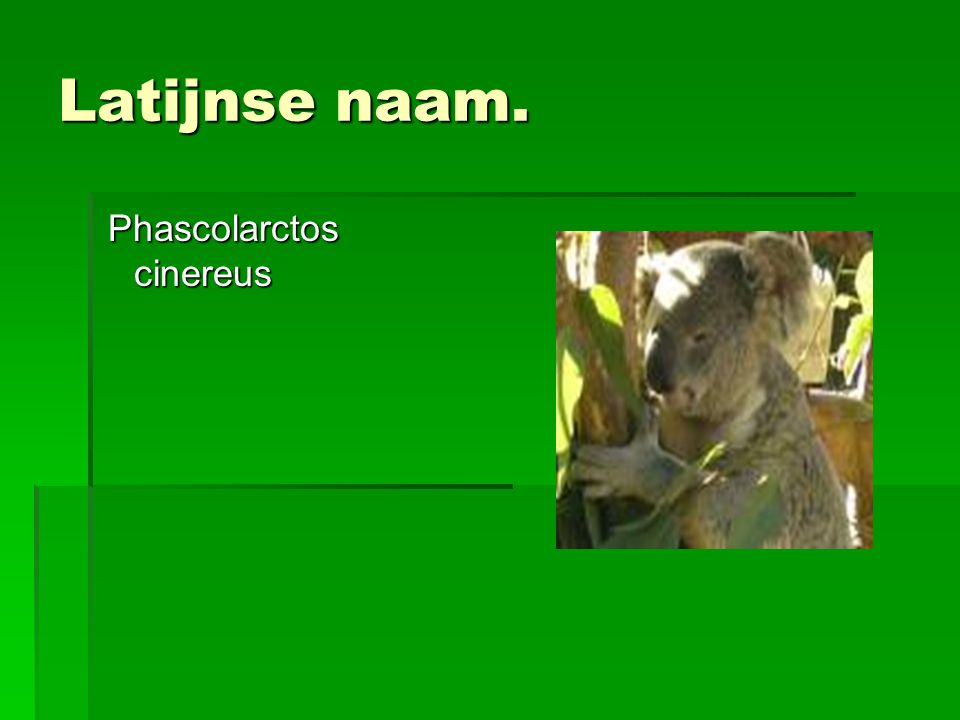 Latijnse naam. Phascolarctos cinereus Phascolarctos cinereus
