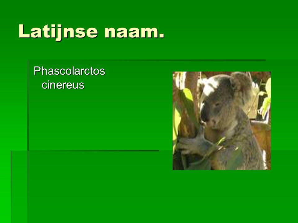 Latijnse naam. Phascolarctos cinereus Phascolarctos cinereus