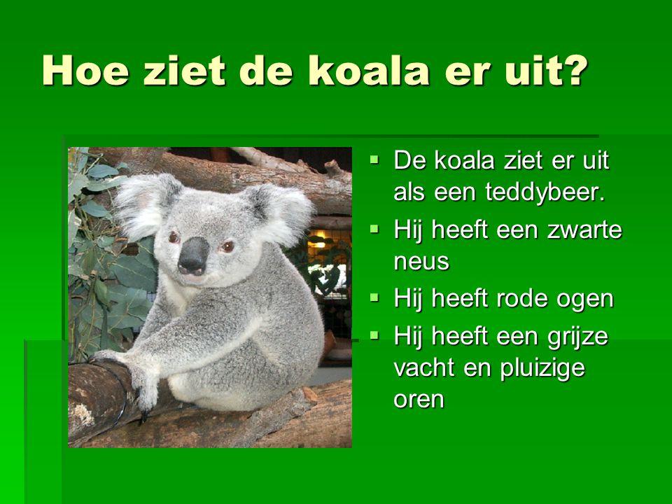 Hoe ziet de koala er uit?  De koala ziet er uit als een teddybeer.  Hij heeft een zwarte neus  Hij heeft rode ogen  Hij heeft een grijze vacht en