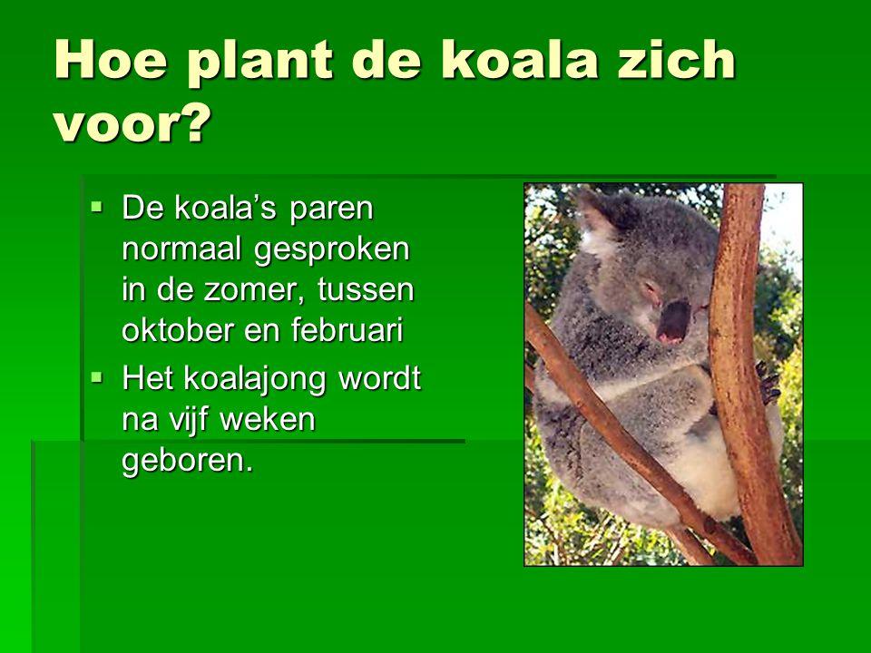 Hoe plant de koala zich voor?  De koala's paren normaal gesproken in de zomer, tussen oktober en februari  Het koalajong wordt na vijf weken geboren