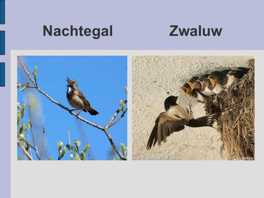 Nachtegal Zwaluw