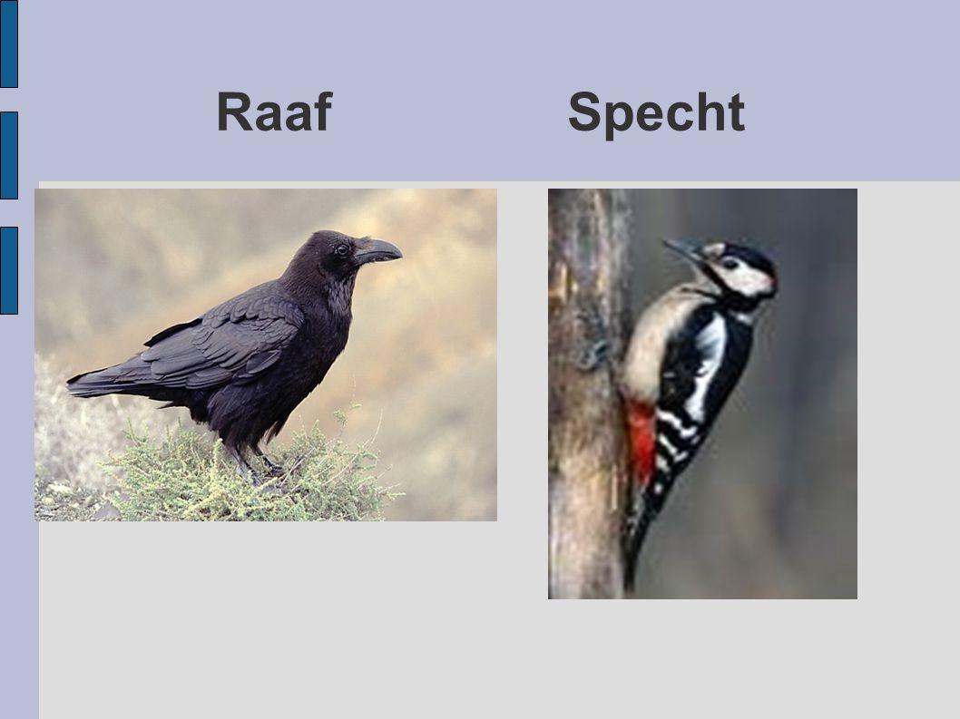 Raaf Specht