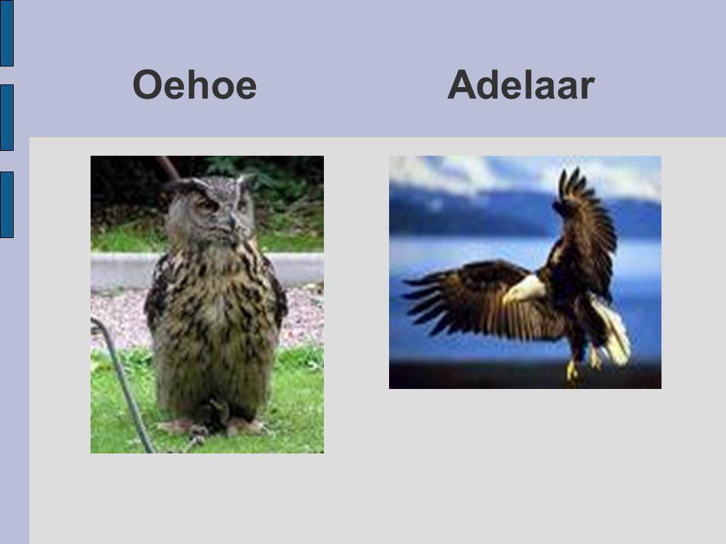 Oehoe Adelaar