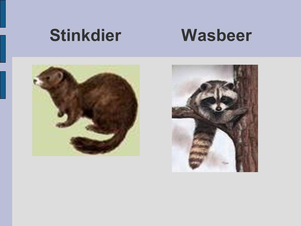 Stinkdier Wasbeer