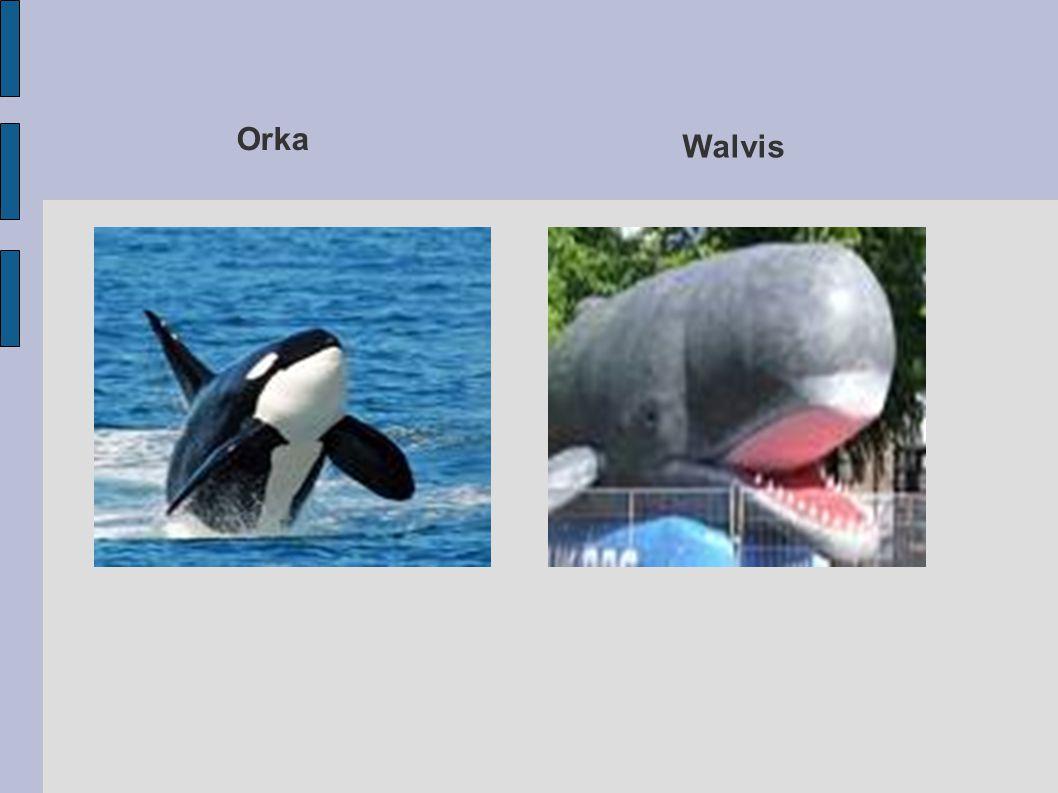 Walvis Orka