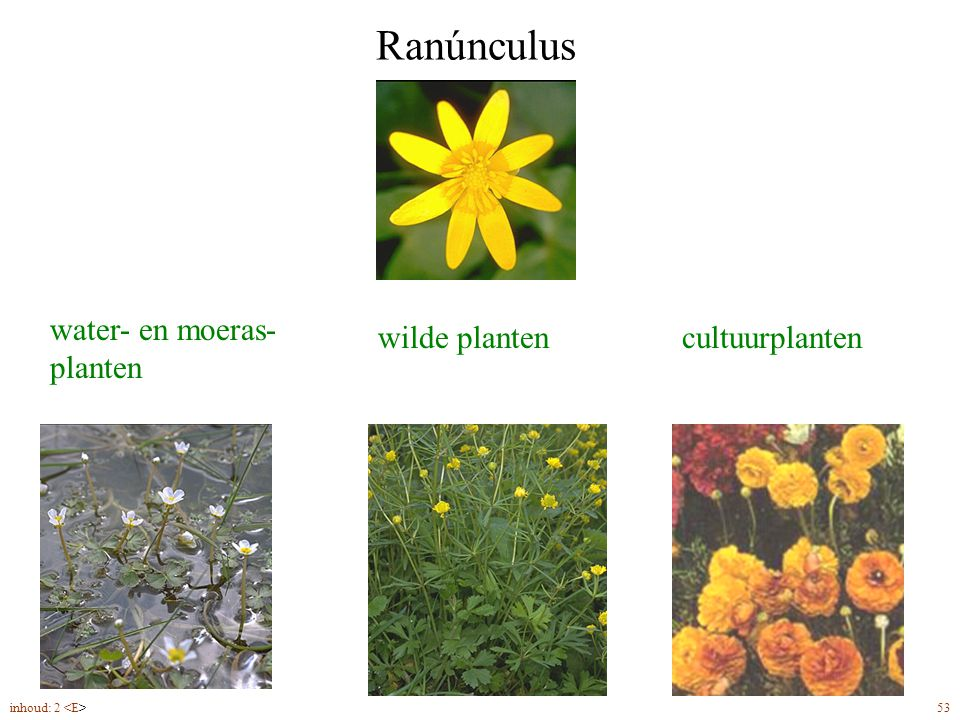Ranúnculus water- en moeras- planten wilde plantencultuurplanten inhoud: 2 53