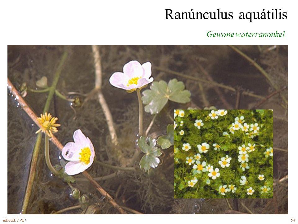 Ranúnculus aquátilis drijvende bladeren ondergedoken bladeren bloemen (5-8) met witte kroonbladen Gewone waterranonkel inhoud: 2 54
