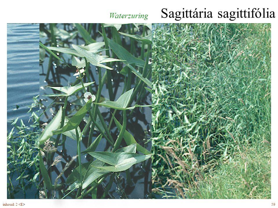 Sagittária sagittifólia bloemen (5-9) éénslachtig mannelijk vrouwelijk diverse bladvormen, drijvend en opstaand Waterzuring inhoud: 2 59