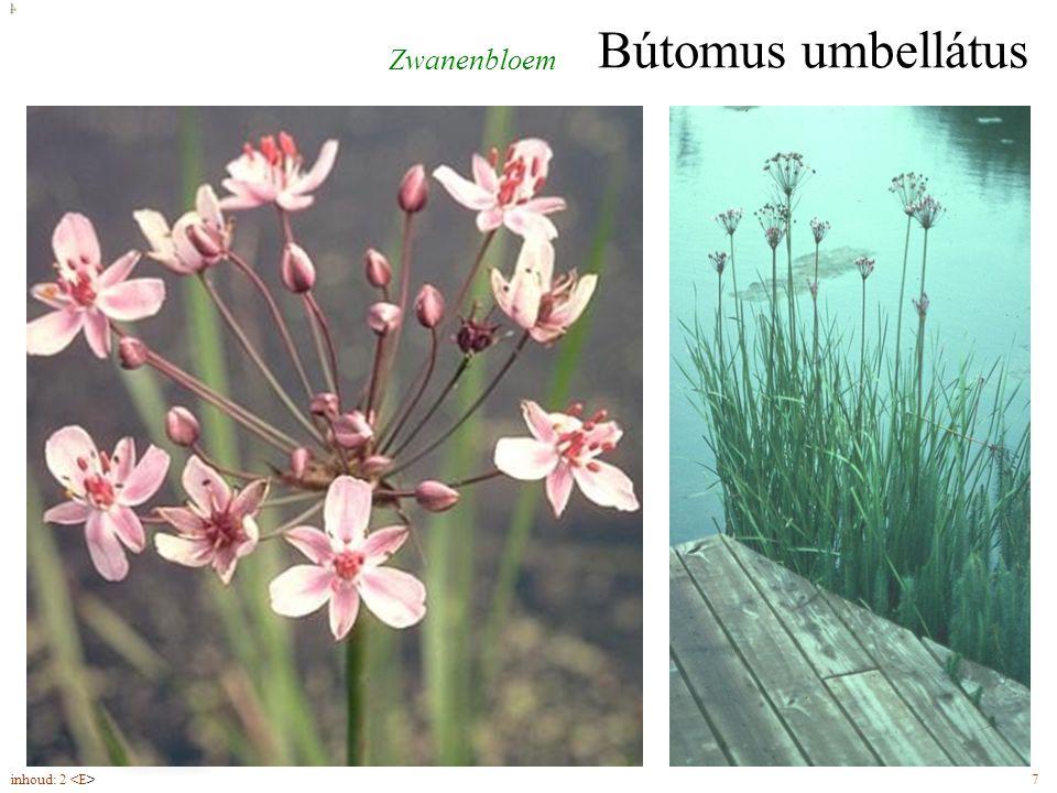 Nymphaéa álba Waterlelie bloemen (5-8) met kroonbladen groter dan kelkbladen inhoud: 2 41