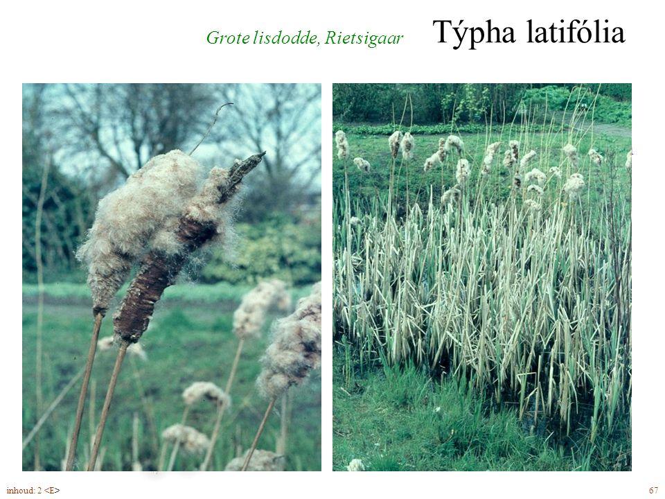 mannelijke bloeiwijze vrouwelijke bloeiwijze géén of weinig ruimte tussen de bloeiwijzen Týpha latifólia Grote lisdodde, Rietsigaar inhoud: 2 67
