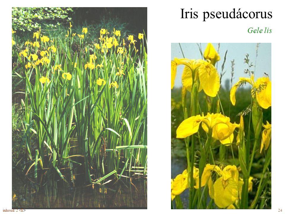 Iris pseudácorus Gele lis drietallige bloemen (5-7) met duidelijk honingmerk zaden inhoud: 2 24