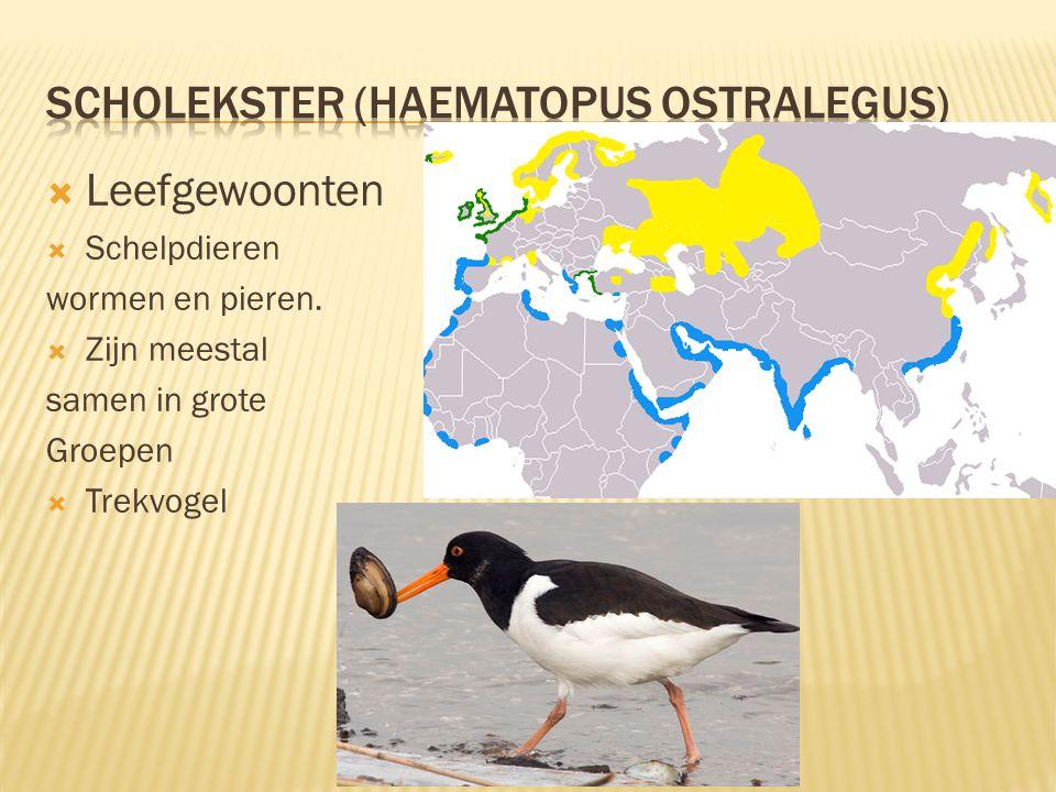  Kenmerken  39 tot 45 cm lang, spanwijdte 72 tot 83 cm.  Zwarte veren boven en witte veren op de buik  Zwarte iris met een oranje rand daaromheen