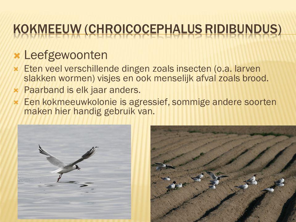 Kenmerken  37 tot 42 centimeter lang, spanwijdte ongeveer 90 centimeter  Wit verenkleed met in de zomer zwarte kop in de winter wit  Zwarte iris