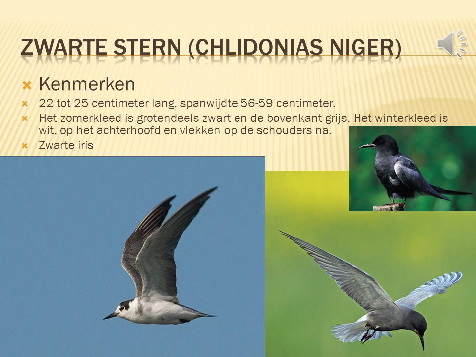  Kenmerken  22 tot 25 centimeter lang, spanwijdte 56-59 centimeter.