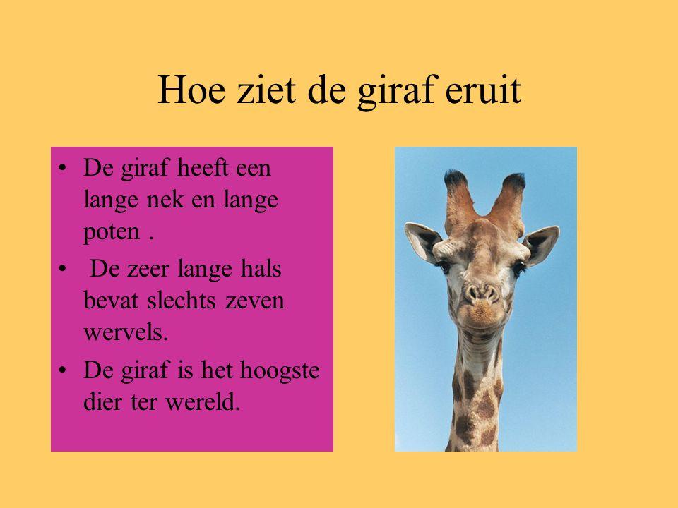 Hoe ziet de giraf eruit De giraf heeft een lange nek en lange poten. De zeer lange hals bevat slechts zeven wervels. De giraf is het hoogste dier ter