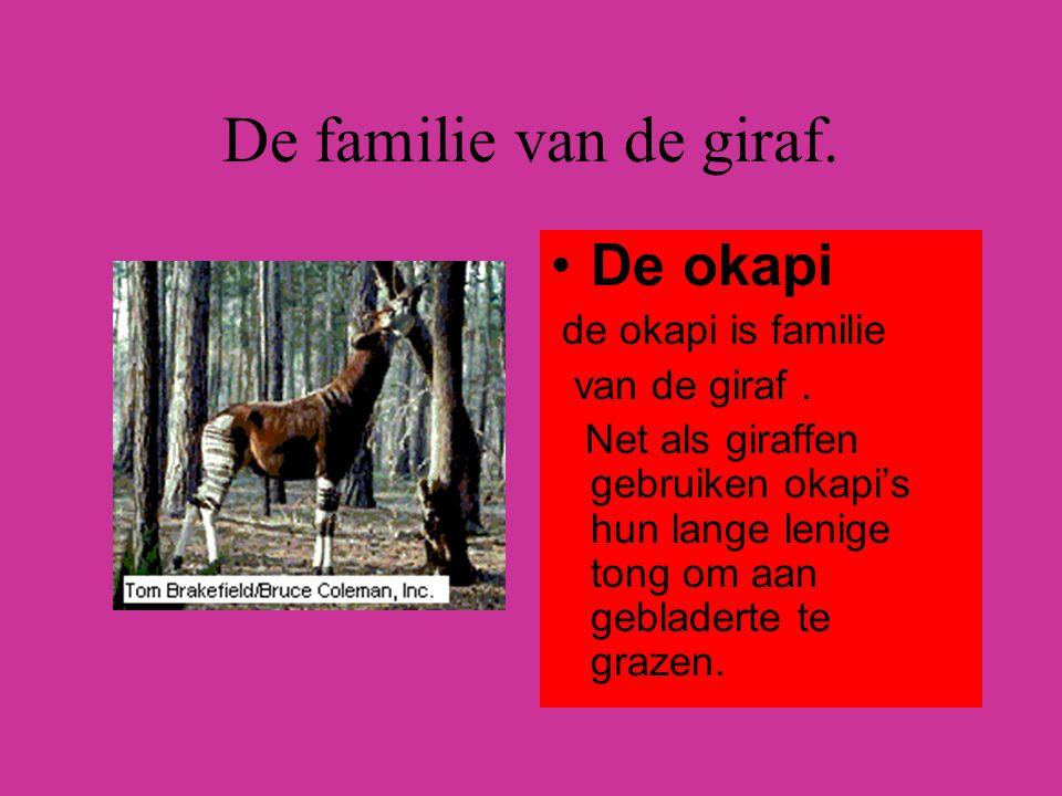 De familie van de giraf. De okapi de okapi is familie van de giraf. Net als giraffen gebruiken okapi's hun lange lenige tong om aan gebladerte te graz