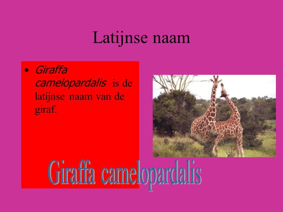 Latijnse naam Giraffa camelopardalis is de latijnse naam van de giraf.